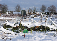 Snow covered urban allotment with brassicas and leeks, Norwi