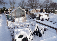 Snow covered urban allotment with greenhouses, Norwich, Norf