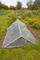 Allotment with fine mesh cage to keep out insect pests, Dorc