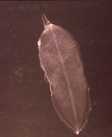 クロシギウナギの仲間の幼生(レプトケファルス)