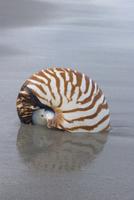 海岸に流れ着いたオウムガイ