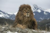 バーバリーライオン
