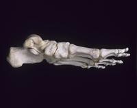 ヒトの左足首の骨 内側 32268000327| 写真素材・ストックフォト・画像・イラスト素材|アマナイメージズ