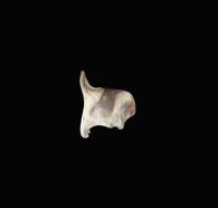 ヒトの喉頭甲状軟骨 右から