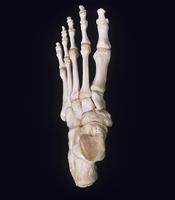 ヒトの左足首の骨 背面 上から