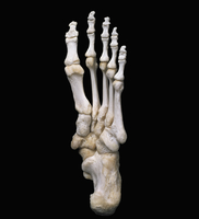 ヒトの左足首の骨 足底