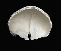 ヒトの前頭頭蓋骨 背部 上から (右半分切除、下部に篩骨切痕) 32268000348| 写真素材・ストックフォト・画像・イラスト素材|アマナイメージズ