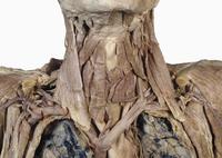 ヒトの首の筋肉 正面から 腕頭静脈
