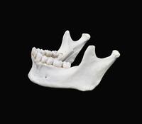 ヒトの下顎と歯 左側面