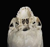 ヒトの頭蓋骨の硬口蓋底 下から 32268000367  写真素材・ストックフォト・画像・イラスト素材 アマナイメージズ