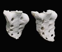 ヒトの仙骨 前面右から 左: 女性の骨盤の表面 右: 男性の骨盤の表面