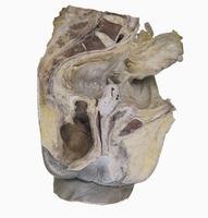 ヒト女性の骨盤の矢状断面  左から 子宮頸部、子宮、膀胱、膣 32268000370| 写真素材・ストックフォト・画像・イラスト素材|アマナイメージズ