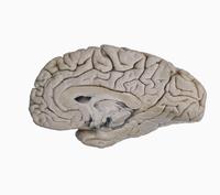 ヒトの大脳半球 内側 脳幹切除