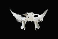 ヒトの頭蓋骨の蝶形骨 背面から