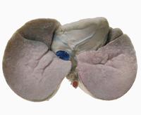 ヒトの心臓と肺 下から