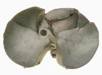 ヒトの心臓と肺の解剖 下から
