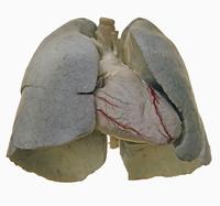 ヒトの心臓と肺の解剖 正面から 冠状血管