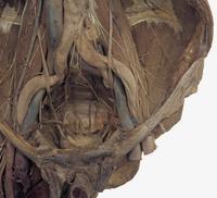 ヒトの後腹壁と骨盤