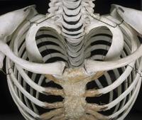 ヒトの胸郭入り口 正面から 上から