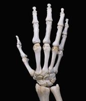 ヒトの右手の甲と手首  32268000460| 写真素材・ストックフォト・画像・イラスト素材|アマナイメージズ