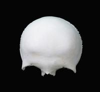 ヒトの前頭骨外面 32268000474| 写真素材・ストックフォト・画像・イラスト素材|アマナイメージズ