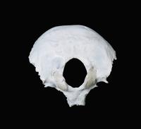 ヒトの後頭骨 外側の表面 下から 32268000479| 写真素材・ストックフォト・画像・イラスト素材|アマナイメージズ