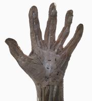 ヒトの左掌の表面的な解剖 32268000495| 写真素材・ストックフォト・画像・イラスト素材|アマナイメージズ