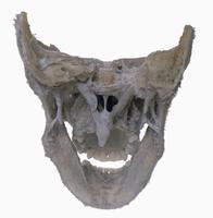 ヒトの頭部の解剖 背面から 解剖 軟口蓋、口蓋垂、鋤骨、鼓膜
