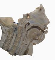 ヒトの頭、鼻、口、首、咽頭、喉頭の解剖 矢状断面図