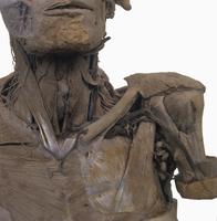 ヒトの左肩と首の解剖 正面から  32268000544| 写真素材・ストックフォト・画像・イラスト素材|アマナイメージズ