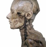 ヒトの顔左側と首の解剖 32268000545| 写真素材・ストックフォト・画像・イラスト素材|アマナイメージズ