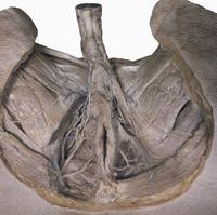 ヒト男性の坐骨直腸窩の解剖 会陰の下部から 32268000547| 写真素材・ストックフォト・画像・イラスト素材|アマナイメージズ