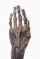 ヒトの右掌の解剖 32268000554| 写真素材・ストックフォト・画像・イラスト素材|アマナイメージズ