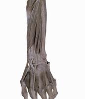 ヒトの左前腕の解剖 背面から
