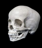 ヒト4歳児の頭蓋骨