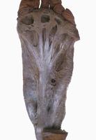 ヒトの左足底の解剖