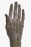 ヒトの左掌の解剖