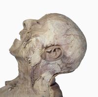 ヒトの首の解剖 側面 右から