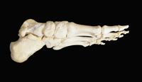 ヒトの左足の骨 内側から