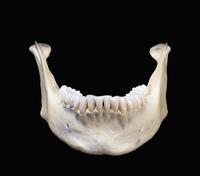 ヒトの下顎骨