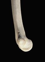 ヒトの上肢骨 遠位上肢骨 内側から 32268000621| 写真素材・ストックフォト・画像・イラスト素材|アマナイメージズ