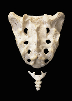 ヒトの仙骨と尾骨 背部表面 32268000626| 写真素材・ストックフォト・画像・イラスト素材|アマナイメージズ