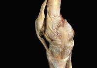ヒトの膝の解剖 32268000635| 写真素材・ストックフォト・画像・イラスト素材|アマナイメージズ