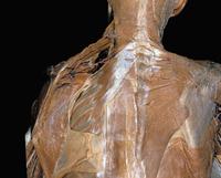 ヒトの胸部の解剖 背面から
