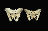 ヒトの骨盤の骨 左:男性 右:女性