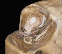 ヒトの肩の解剖