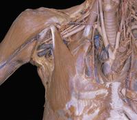 ヒトの胸部の解剖 筋肉、血液循環