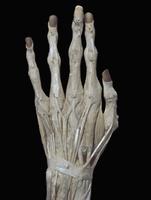 ヒトの手の甲 解剖