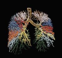 ヒトの肺と気管支樹 レジンキャスト複製 32268000725| 写真素材・ストックフォト・画像・イラスト素材|アマナイメージズ