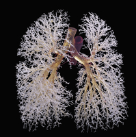 ヒトの肺と気管支のレジンキャスト複製 前面から 32268000728| 写真素材・ストックフォト・画像・イラスト素材|アマナイメージズ